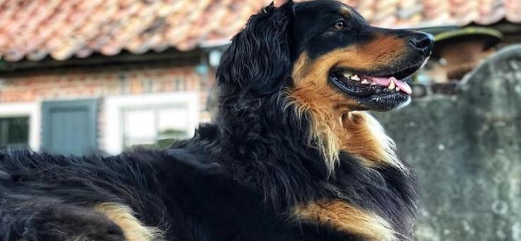 Onbekende hondenrassen: Hovawart