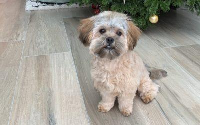 Onbekende hondenrassen: Bolonka