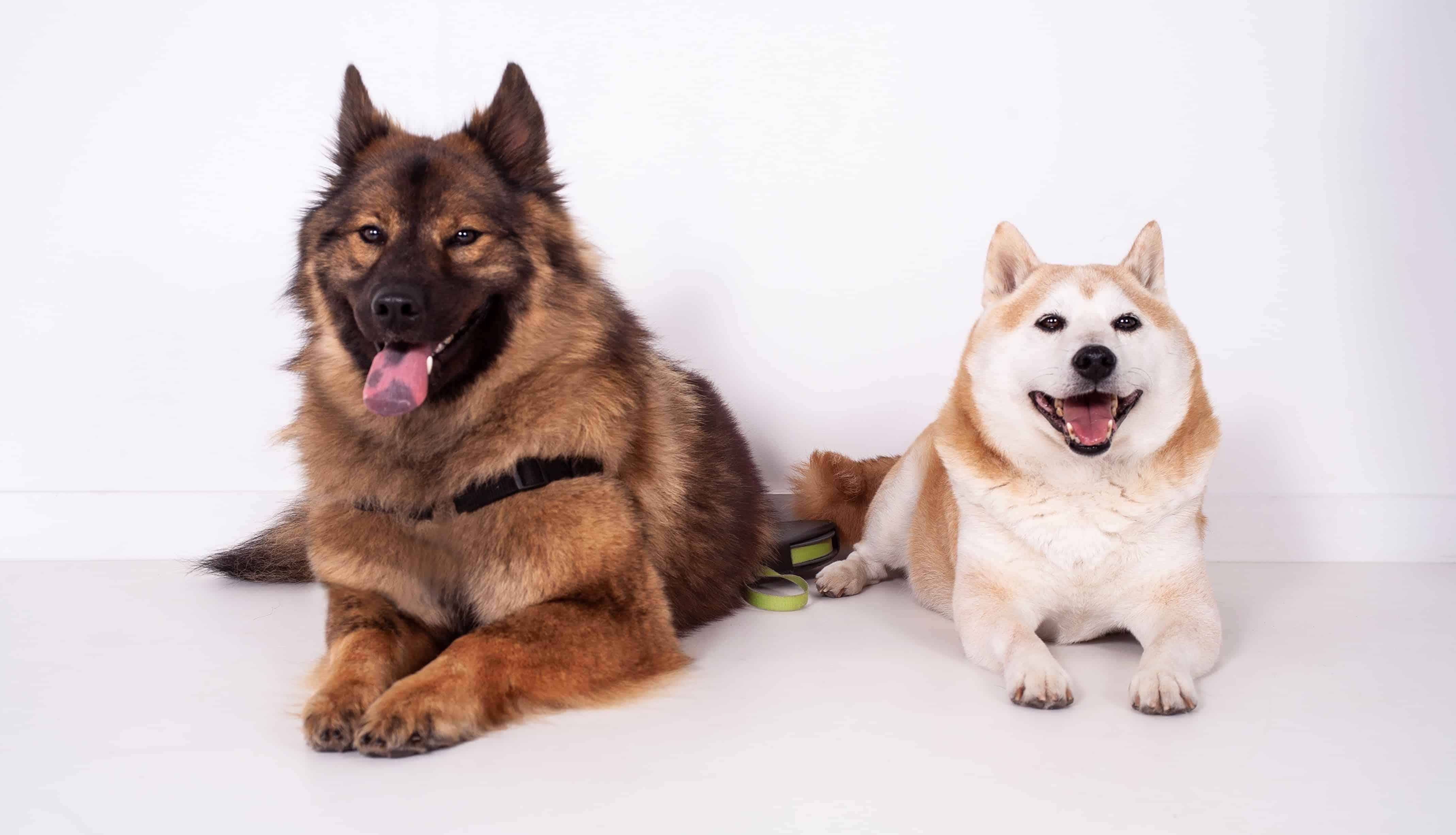 Onbekende hondenrassen: Eurasiër