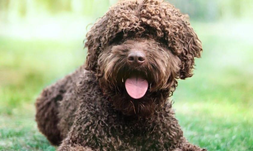 Dog influencer: Beau