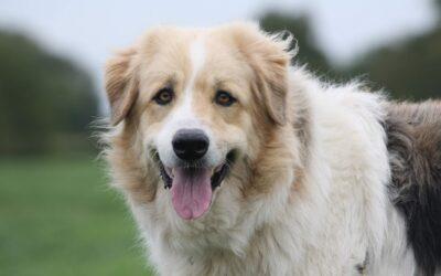 Onbekende hondenrassen: Mastin del Pirineo