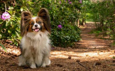 Onbekende hondenrassen: Papillon